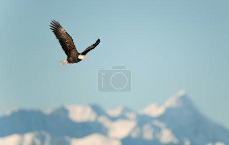 Photo pour Aigle volant (Haliaeetus leucocephalus washingtoniensis) au-dessus des montagnes enneigées. Hiver Alaska. États-Unis - image libre de droit