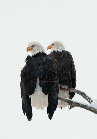 Photo pour Deux aigles (Haliaeetus leucocephalus) sont assis sur l'arbre desséché - image libre de droit