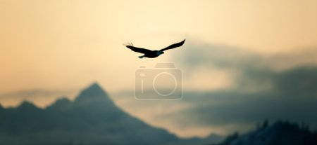 Photo for Flying Bald eagle ( Haliaeetus leucocephalus) on a decline against mountains. - Royalty Free Image