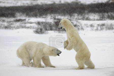 Photo for Polar bears fighting on snow have got up on hinder legs. - Royalty Free Image