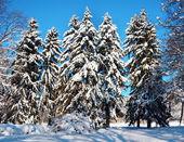 FIRTREES ricoperta di neve