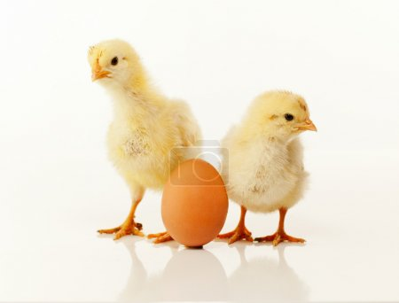 Two newborn chickens with egg