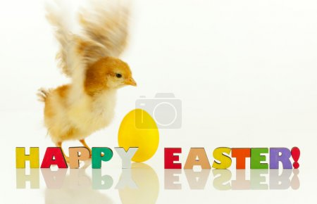 Little chicken with yellow egg