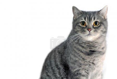 Gray tabby cat. Scottish straight.