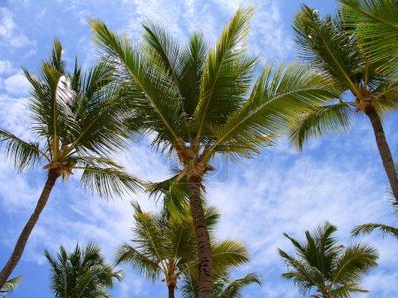 Photo pour Palmiers, vue du bas - image libre de droit