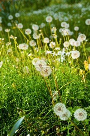 Meadow of Dandelions close up