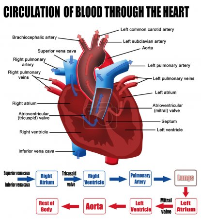 Illustration for Circulation of blood through the heart (for basic medical education, for clinics & Schools), vector illustration - Royalty Free Image