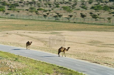 Camels on the road in Oman, Middle East