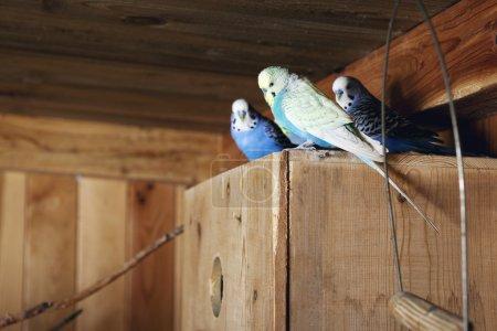 Foto de Periquitos cautivos azules posados en una caja de cría en un aviario - Imagen libre de derechos