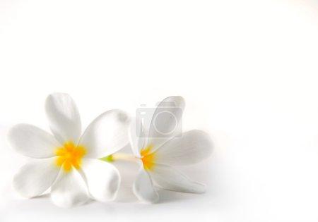 Plumeria on the white background