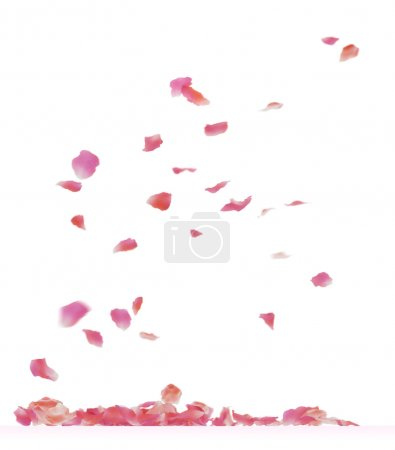 Photo for Falling rose petals. Isolated on white background. - Royalty Free Image