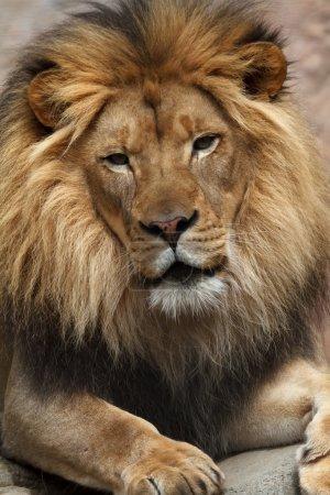 Photo pour Gros plan sur lion - image libre de droit
