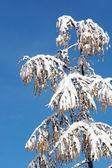 Conifera inverno