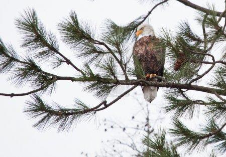 Photo pour Pygargue à tête blanche perché sur un arbre à coeur d alene idaho mi-décembre - image libre de droit