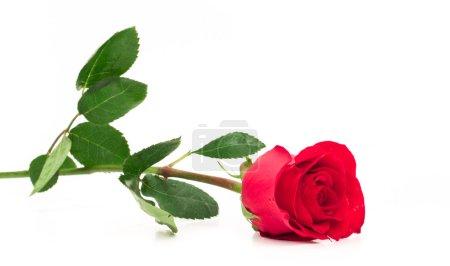 Photo pour Rose rouge longue tige isolée allongée concentrée sur le bourgeon - image libre de droit