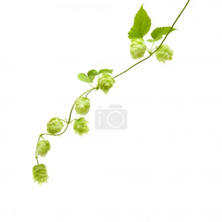 Hops (Humulus lupulus) branch isolated on white background; a