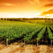 Gorgeous sunset over beautiful green vines...