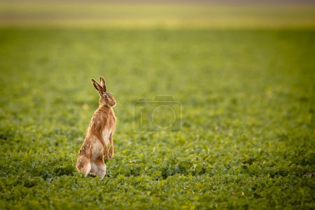 Photo for Brown hare (lepus europaeus) - Royalty Free Image