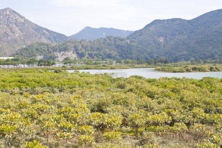Mangroves in Hong Kong