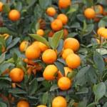 Mandarine orange tree for celebrating Chinese New ...
