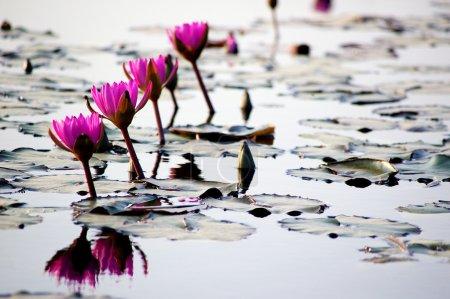 Photo pour Étang de Lotus en hiver - image libre de droit