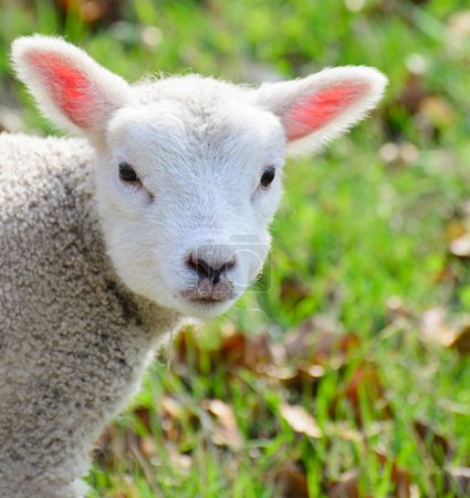 Cute newborn spring lamb...