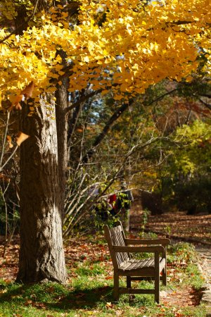 Photo pour Un banc de bois sous un arbre automne dans un parc ; personnes âgées marchant en arrière-plan. Coker arbaretum, jardin botanique de north carolina, chapel hill. - image libre de droit