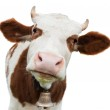Young cow isolated on white...