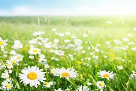 Photo pour Champ de fleurs de Marguerite - image libre de droit