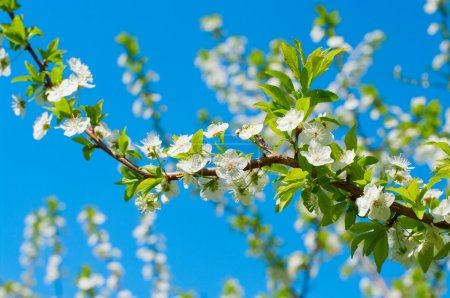 Photo for Apple blossoms in the springs - Royalty Free Image