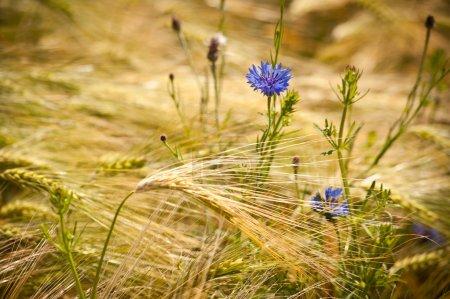 Field of golden grain