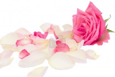 Foto de Rosa con pétalos aislado sobre fondo blanco - Imagen libre de derechos