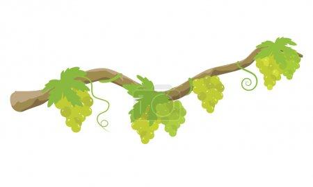 Illustration pour Branche d'arbre et grappes de raisin isolés sur fond blanc. Illustration vectorielle - image libre de droit