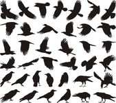 Bird carrion crow