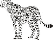 Gepard - Black and white cheetah