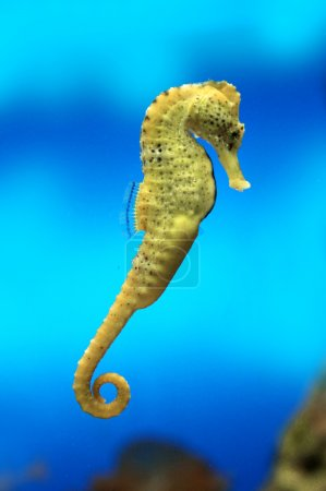Yellow sea-horse