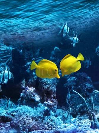 Two yellow tropical fishes meet in blue coral reef...