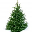 Young green Christmas tree spruce on white snow ba...