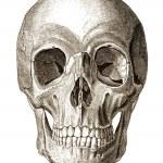 Old engraving illustration of human skull front vi...
