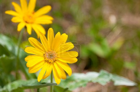 Photo for A bright yellow wild daisy in spring with another blurred daisy and greenery in the background. - Royalty Free Image