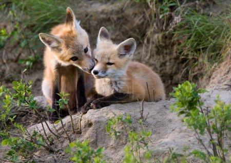 Photo pour Fox kits canada à jouer saskatchewan canada - image libre de droit