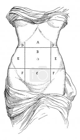 Abdomen and its subdivisions, vintage engraving.