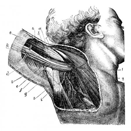Region of the armpit, vintage engraving.