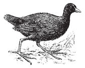 Moorhen vintage engraved illustration Dictionary of words and things - Larive and Fleury - 1895