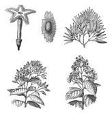 Old engraved illustration of three different species of Cinchona plant 12) Flower and seed of Cinchona Calisaya 3) Fruits of Cinchona Succirubra 45) Flower