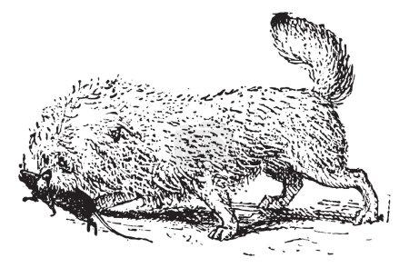 Ratier Griffon, vintage engraving.