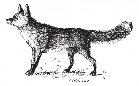 Illustration for Fox, vintage engraved illustration. Dictionary of words and things - Larive and Fleury - 1895. - Royalty Free Image