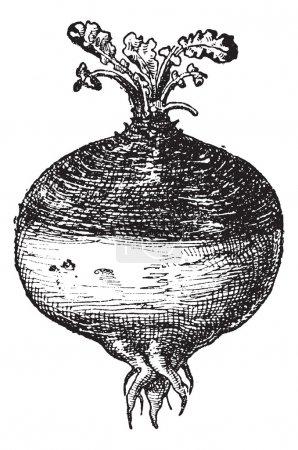 Rutabaga or Swede, vintage engraving.