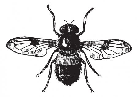 Illustration for Fig 19. Volucella, vintage engraved illustration. Fly Volucella isolated on white background. Volucella isolated on white. Dictionary of words and things - Lari - Royalty Free Image
