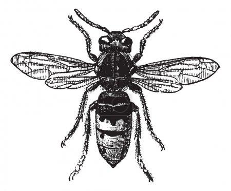 Fig 12. Wasp, vintage engraving.
